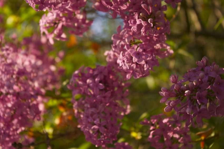 "The month of May brings Lilacs into bloom. It also encourages what Ernest Hemingway termed, ""tauromania."""