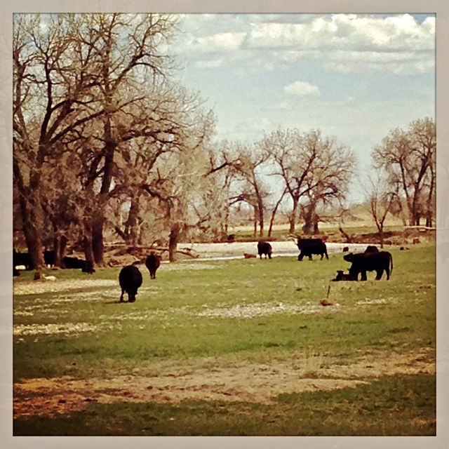 Pastoral scene of cows and fields when biking. Gap year. Published in my Legos blog post.
